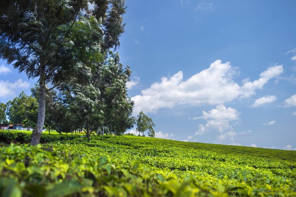 on the way to jinja tea plantation